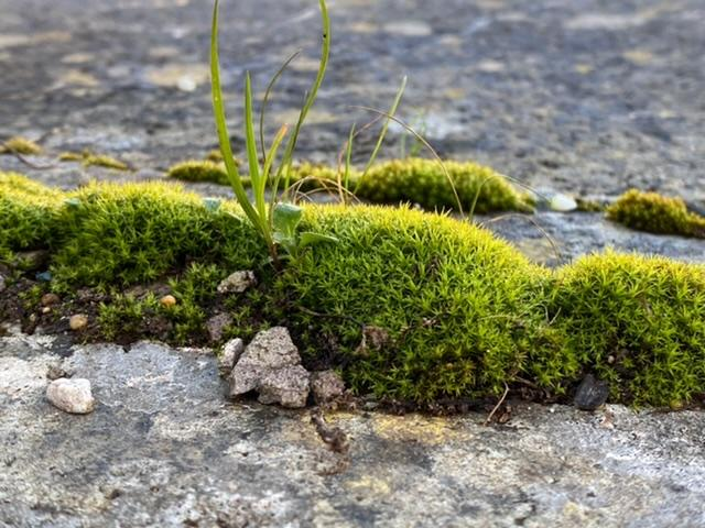 Mosses' attachment to stone