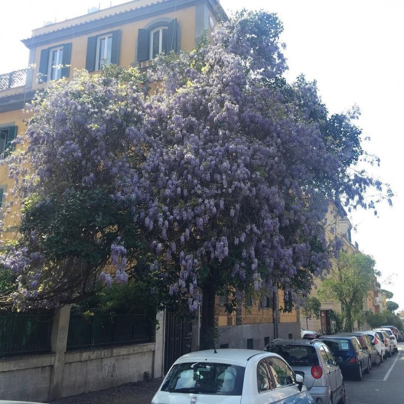 I love how this wisteria has coopted a nearby tree.