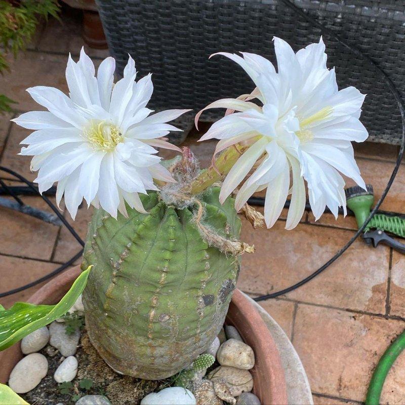 Cactus keeps on blooming.