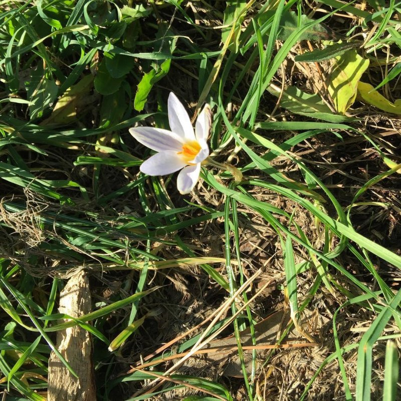 Three successive days of sunshine and the crocuses are out in force. This sparks joy.