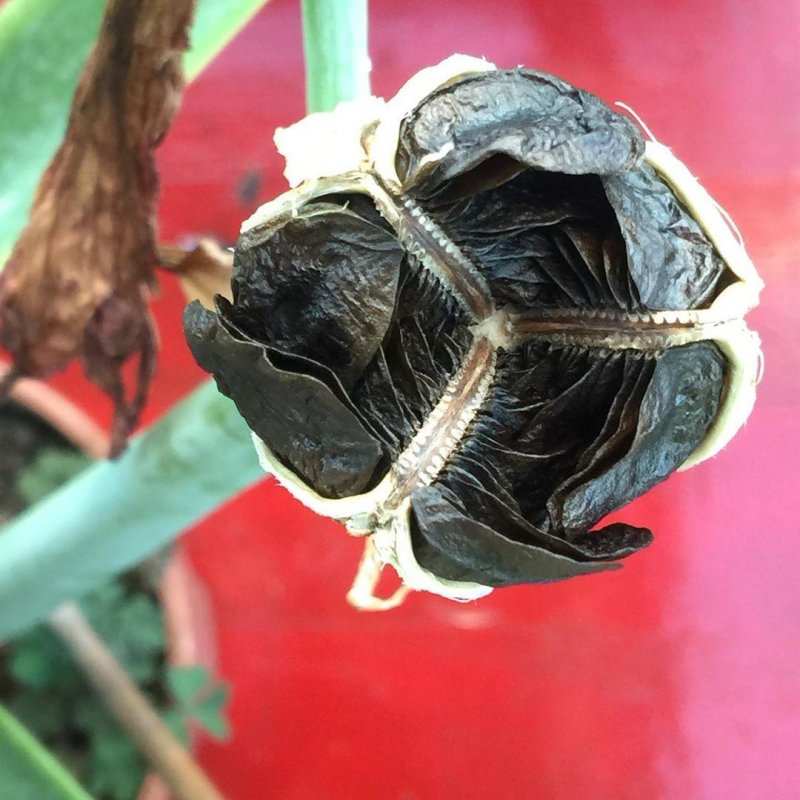 Hippeastrum seed capsule.