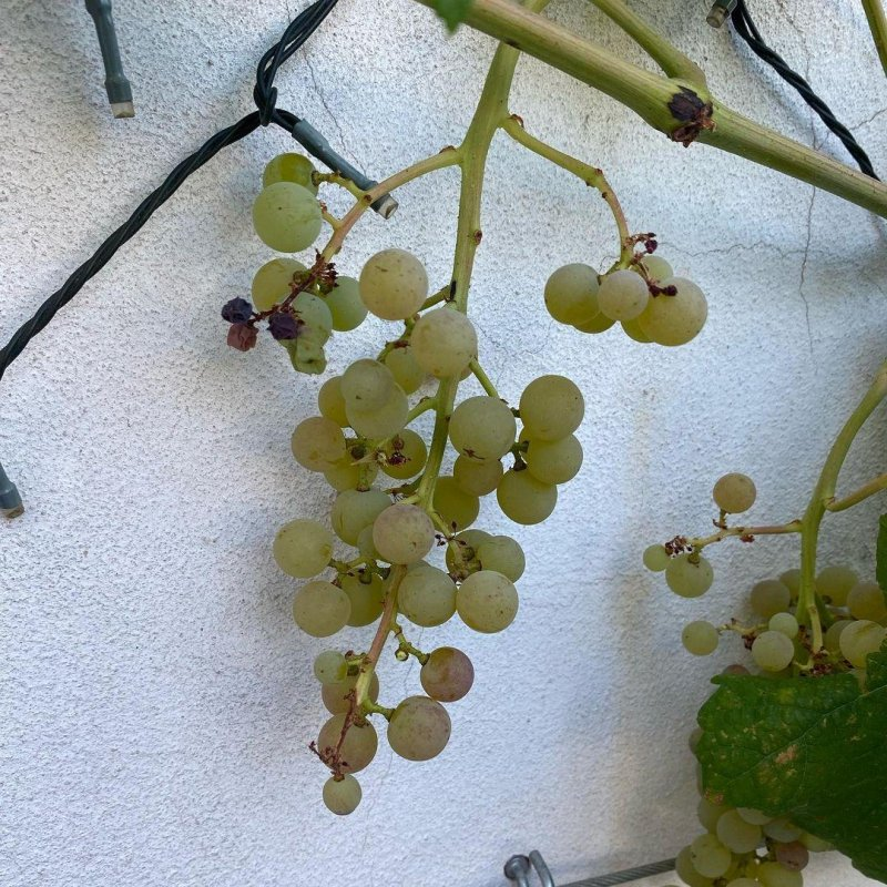 I can't remember exactly when we planted this grapevine, but this is the first year it has borne grapes, and the are exquisite.