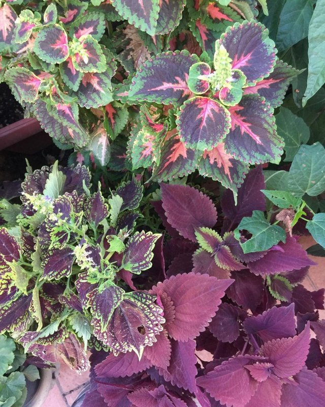 Coleus giving great value.