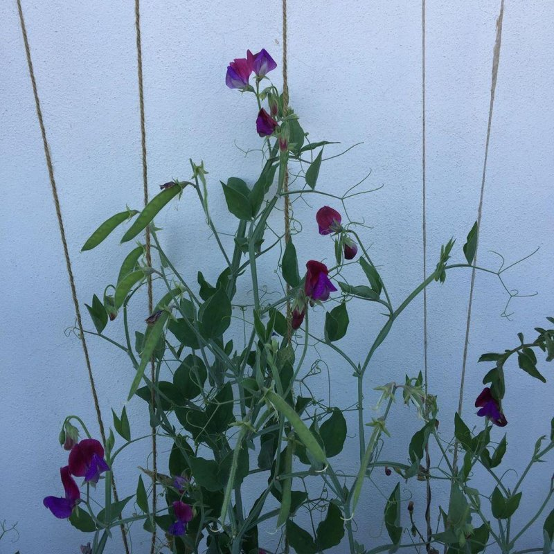 Cupani sweetpeas doing ok, with a hope of more seeds for next year